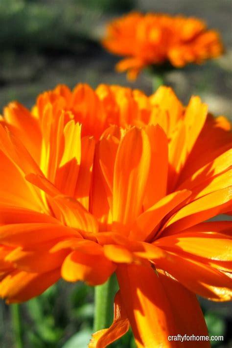 easy  grow annual flowers  seed