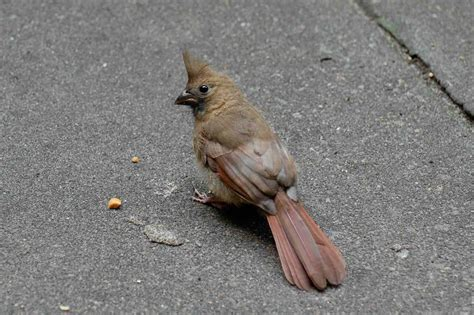 best 28 what bird looks like a cardinal quot bird