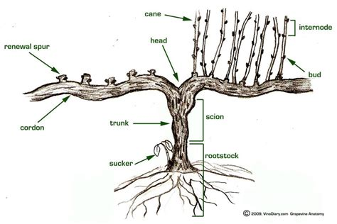 grape vine care and maintenance anatomy of a grapevine grape vines during winter dormant period
