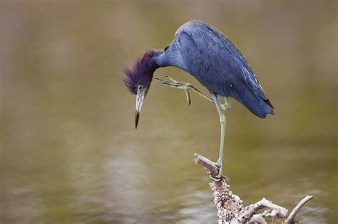 Blue Heron Wallpapers Backgrounds