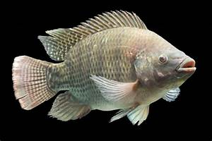 TILAPIA is the Fish for Aquaponics