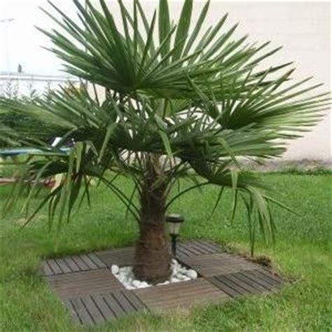 type de palmier exterieur palmier de chine en pot 225 250 cm de haut vente priv 233 e bourges infoptimum