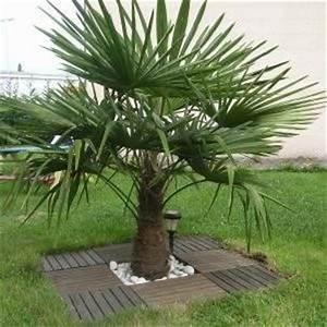 Palmier De Jardin : prix palmier exterieur ~ Nature-et-papiers.com Idées de Décoration