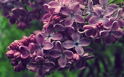 Lilac Flowers Spring Nature Bush Desktop Purple