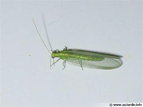 cuisiner les insectes la chrysope aux yeux d 39 or