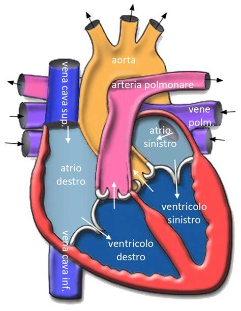 cuore e vasi cuore