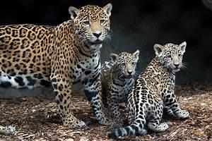 Jaguar Cubs at Houston Zoo Make Public Debut | PEOPLE.com  Jaguar