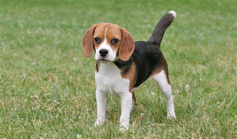 Beagle Breed Information Pocket Door Hardware 42 Inch Shower Front Prices Craftsman Garage Remote Sliding Doors Home Depot Duct Access Installing A Wireless Button