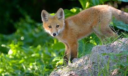 Fox Cub Foxes Eyes Wallpapers Desktop Background