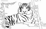 Tiger Coloring Pages Printable Animal Drawing sketch template