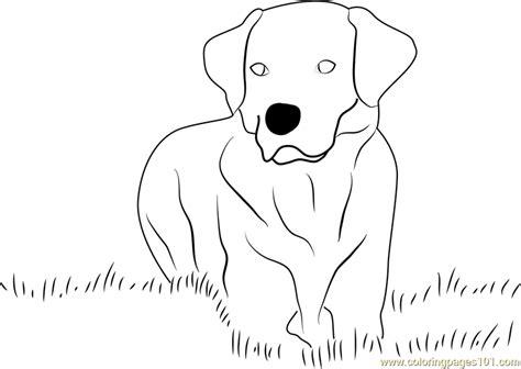 labrador coloring pages yellow labrador retriever coloring page free