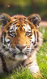Siberian / Amur Tiger - Zambar, Blackpool Zoo   The ...