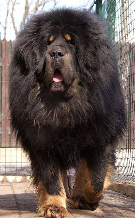 biggest   beautiful mastiff breeds