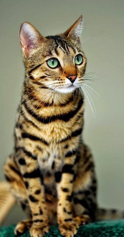 expensive cats kartgram top 5 most expensive cat breeds