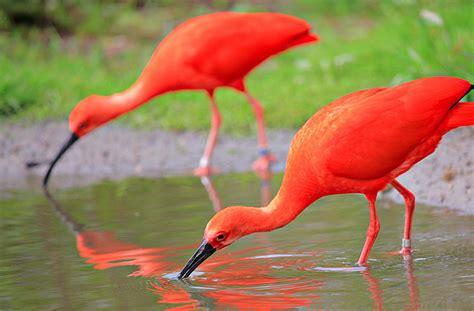 national aquarium scarlet ibis