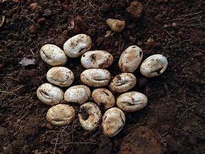 Bonafide Farm - black snake eggs