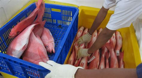 grouper snapper fish fishery indonesia tons metric estimated annually nearly provides retail value tnc million