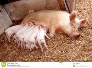 Mother Pig Feeding Piglets