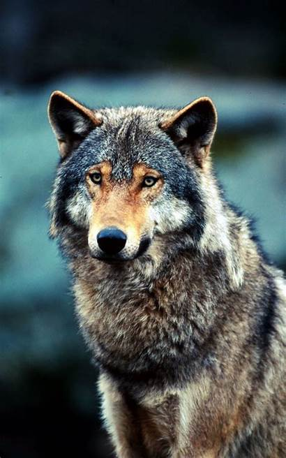 Wolf Grey Animal Lupo National Canis Lupus