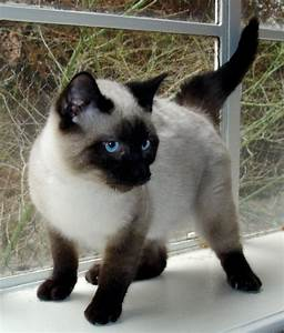 Image - Seal Point Siamese 2.JPG | Dogs and Cats Wiki ...