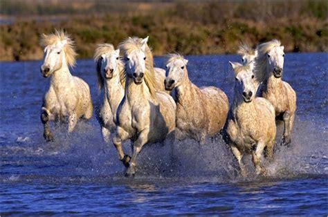 fotos pferden adam jones camargue pferde galoppieren durch feuchtgebiete poster bestellen posterlounge