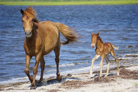 assateague horse food ingestion dog island chama linked death horses md alliance foal nearby pictured courtesy last its ocean