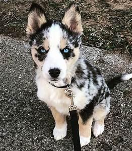 Aria the Ausky. Husky and Australian cattle dog mix ...