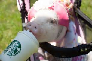 Baby Pig Eating Ice Cream
