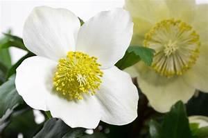 Christrose Im Zimmer : christrose als zimmerpflanze halten pflegetipps ~ Buech-reservation.com Haus und Dekorationen