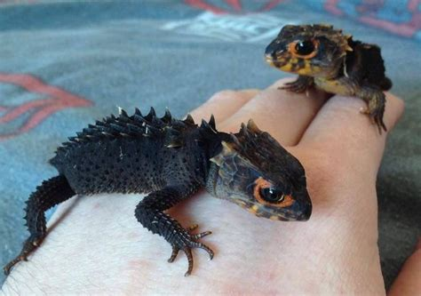 geckos as pets red eyed crocodile skinks reptiles rock pinterest nuttede dyr dyr og hjerte