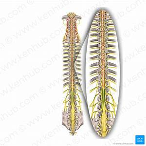 Spinal Cord  Anatomy  Structure  Tracts And Function