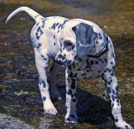 lovable dalmatians    smile daily puppy