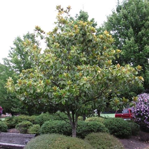 southern magnolia facts southern magnolia buy at nature hills nursery