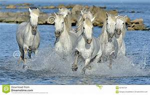 White Camargue Horses Galloping Through Water Stock Photo ...