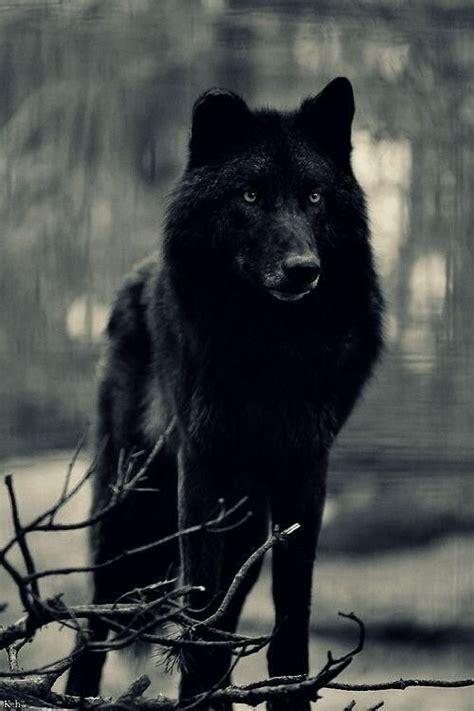wolf hybrid black wolf beautiful pinterest