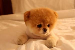 boo dog cutest dog in world