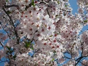 Cherry blossom in Korea 2018 forecast — The best time ...
