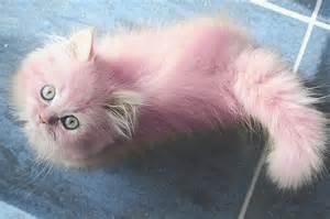 pink cat cat kitten pastels colored fur pink kitten image