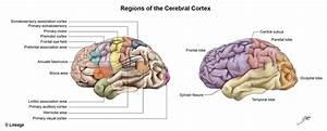 Cerebral Cortex - Neurology