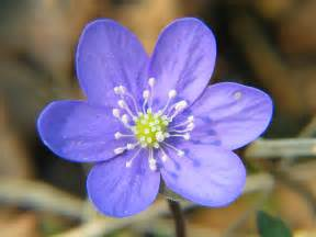 Japanese Anemones Purple Flowers