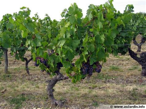 cuisiner les ceps vigne raisin vitis vinifera conseils de culture