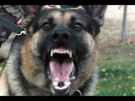 attack dog super scary german shepherd beware  dog