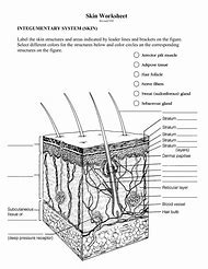 integumentary system skin diagram worksheet