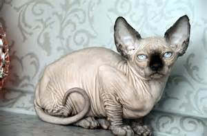 hairless cats for 1000 images about sphynx cats on sphynx