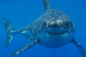 10 Facts About Great White Sharks Shark Zone Blog