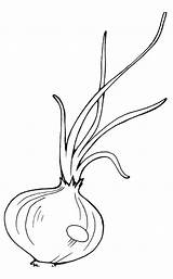 Onion Coloring Pages Raskraska sketch template