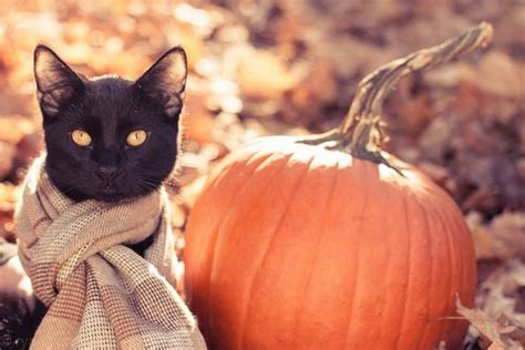 Wallpaper Cat And Pumpkin by National Cat Day The History Superstition Of Black Cats