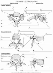 Vertebra Unlabeled | Education | Pinterest | Anatomy ...