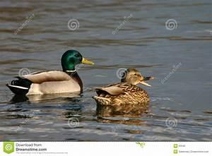 Quacking Mallard Pair Royalty Free Stock Photo - Image: 63545