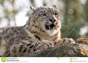 Snow Leopard Snarling Royalty Free Stock Images - Image ...